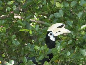 Palau Ubin Birds - Oriental Pied Hornbill