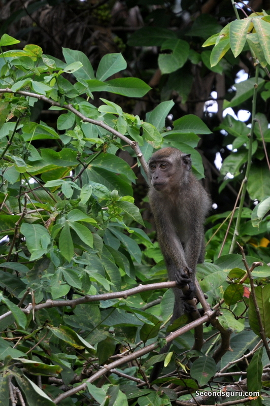 Walk the Green Corridor, Singapore | the monkeys of Bukit Timah hold sway