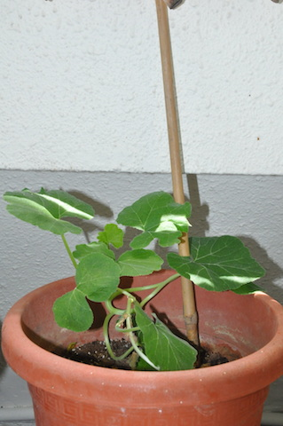 pumkin-plant-from-composte