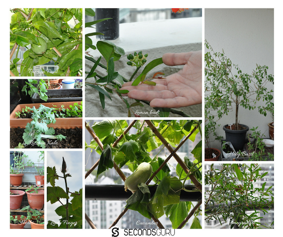 edibles-that-grow-in-balcony-in-singapore