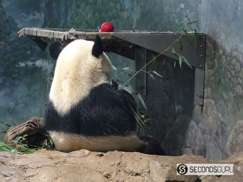 Pandas' staple diet is bamboo