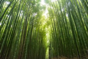 Bamboo forests are good for the environment