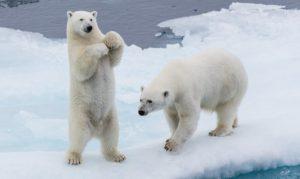 Polar bears_unsplash